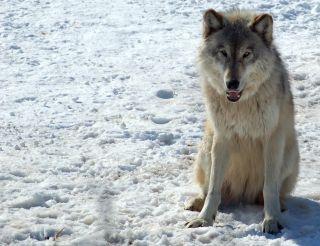 Los lobos grises de las Rocosas se salvan de la extinción